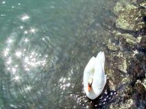 Cisne 2013 del lago toronto fotografía de archivo