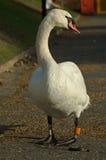 Cisne del otoño Fotos de archivo libres de regalías