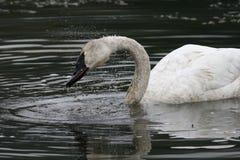 Cisne del trompetista imagen de archivo