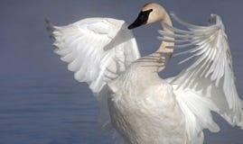 Cisne del trompetista Fotos de archivo