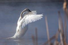 Cisne del trompetista Fotografía de archivo libre de regalías