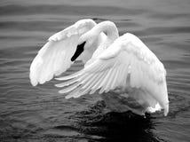 Cisne del trompetista Fotos de archivo libres de regalías