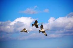 Cisne del vuelo Fotografía de archivo