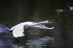 Cisne del vuelo Foto de archivo