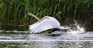 Cisne del vuelo Imagen de archivo libre de regalías