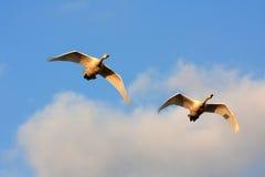 Cisne del vuelo Fotografía de archivo libre de regalías
