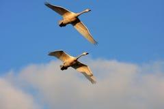 Cisne del vuelo Fotos de archivo libres de regalías