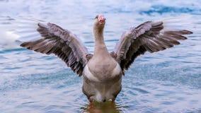 Cisne del vuelo Imagen de archivo