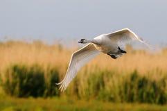 Cisne del vuelo Fondo amarillo de la hierba Olor del Cygnus del cisne mudo imagenes de archivo