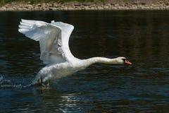 Cisne del vuelo sobre el río Foto de archivo