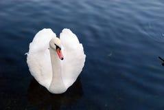 Cisne do amor Fotos de Stock