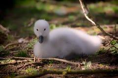 Cisne do bebê Cisne novo bonito Pintainho necked preto bonito macio da cisne Fotografia de Stock Royalty Free