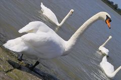 Cisne do branco de Gracefull Imagem de Stock
