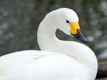 Cisne do Close-up Foto de Stock