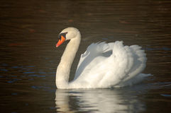 Cisne do lago Sedaka imagem de stock