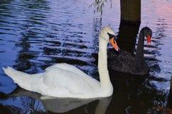 Cisne do pássaro Imagem de Stock Royalty Free