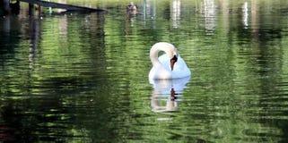 Cisne do pássaro de Woter dos lagos boston miliampère do parque de animais dos pássaros foto de stock