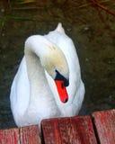 Cisne do pássaro na costa do lago Foto de Stock