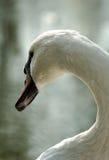 A cisne do rei Foto de Stock