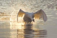 Cisne do vôo Imagem de Stock Royalty Free