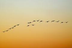 Cisne do vôo fotografia de stock
