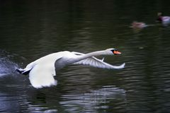 Cisne do vôo Foto de Stock