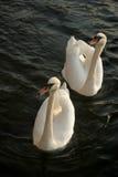 Cisne dois Foto de Stock Royalty Free