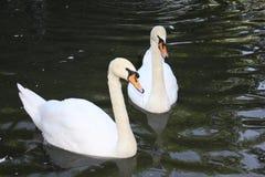 Cisne dois em um lago Fotos de Stock Royalty Free