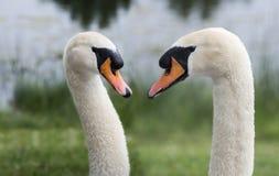 Cisne dois na natureza Fotos de Stock Royalty Free