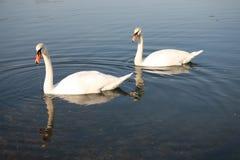 Cisne dois no lago Fotos de Stock Royalty Free