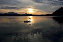 Cisne durante puesta del sol Foto de archivo