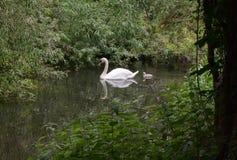 Cisne e cisne novo Imagem de Stock