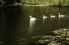 Cisne e cisnes novos brancos foto de stock royalty free