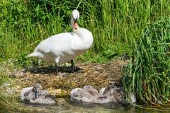 Cisne e cisnes novos da mãe Fotografia de Stock