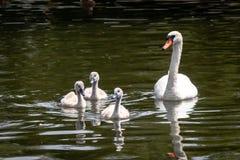 Cisne e cygnets imagem de stock