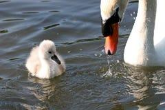 Cisne e cygnets fotos de stock royalty free