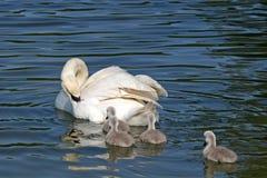 Cisne e cygnets imagens de stock royalty free