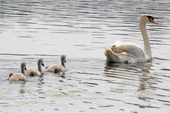 Cisne e cygnets foto de stock royalty free