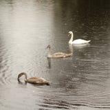 Cisne e cygnets imagem de stock royalty free