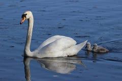 Cisne e cygnets fotografia de stock