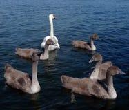 Cisne e cygnets no rio fotos de stock royalty free