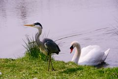 Cisne e Grey Heron fotos de stock royalty free