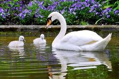 Cisne e jovens Fotos de Stock
