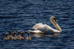 Cisne e jovens do delta de Danúbio Fotografia de Stock