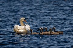 Cisne e jovens do delta de Danúbio Imagem de Stock