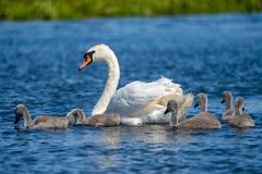 Cisne e jovens do delta de Danúbio Foto de Stock Royalty Free