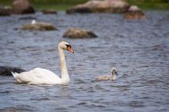 Cisne e pintainho fotos de stock royalty free