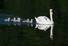 Cisne e pintainhos Fotografia de Stock