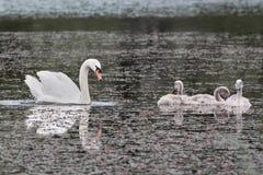Cisne e pintainhos no lago fotografia de stock royalty free