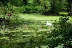 Cisne e pintainhos no ninho Foto de Stock